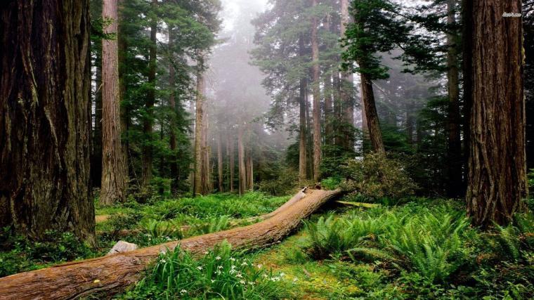 1920x1080px Redwoods Wallpaper