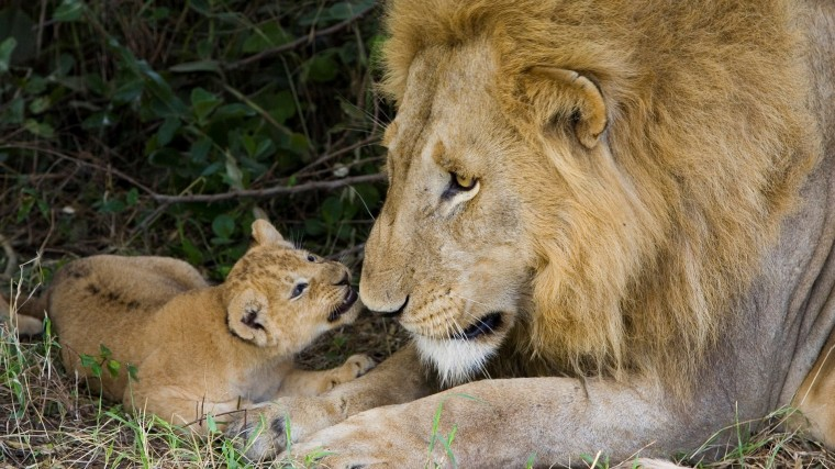 Cute Lion Cub with His Father HD Wallpapers HD Wallpapers