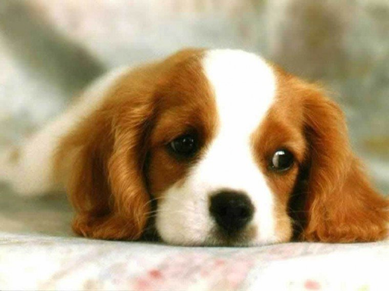 Cute Puppies Wallpapers 10001 Hd Wallpapers in Animals   Imagescicom