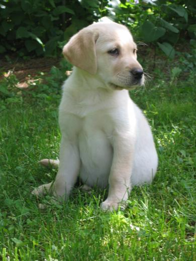 Golden Labrador Retriever Puppies