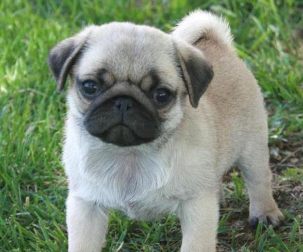 pug image for sale Desktop Backgrounds for HD Wallpaper wall