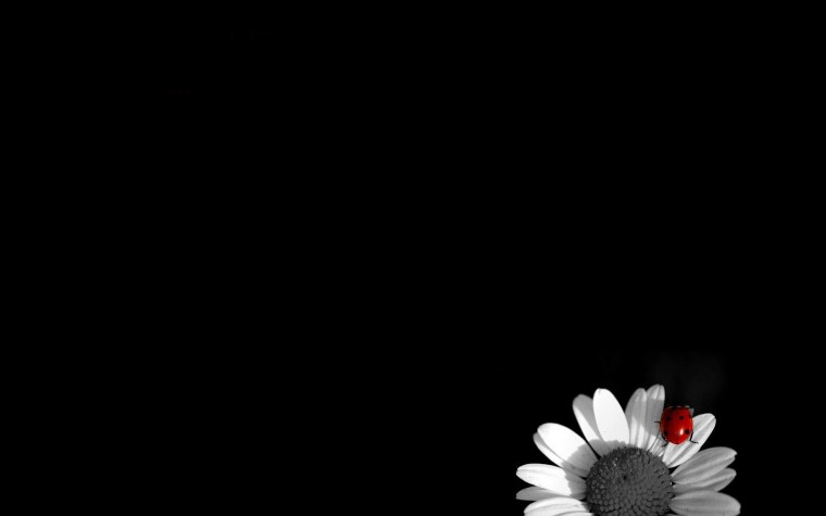 Black and White Wallpapers White Camomile on Black Background Black