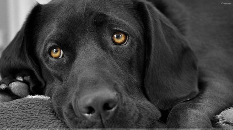 Black Labrador Face Closeup Wallpaper
