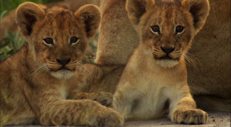 Cute Lion Cubs wallpaper   Click picture for high resolution HD