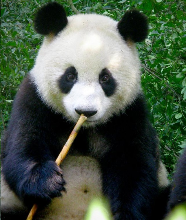 Animals images Panda bear wallpaper photos 31984297