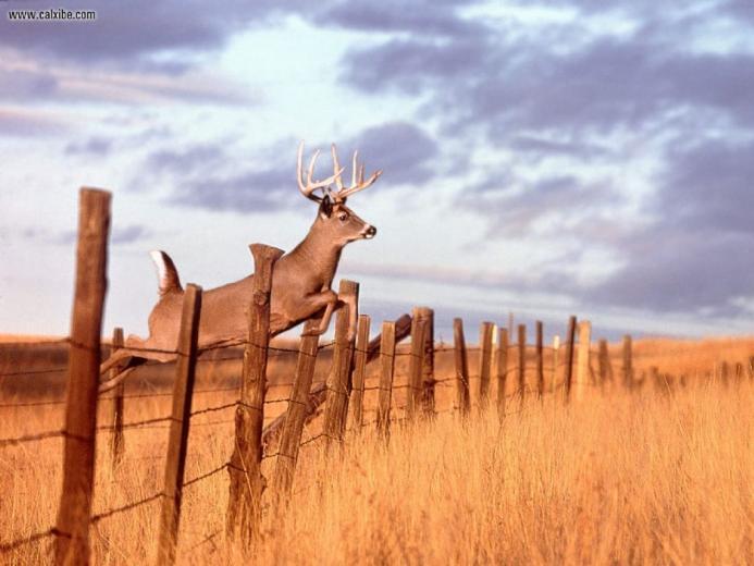 whitetail deer wallpaper Wallpaper and Screensaver