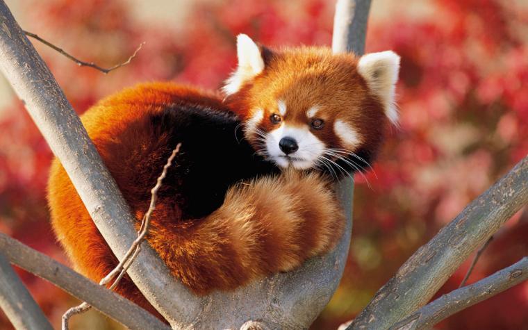 red panda fluffy animal cute Wallpaper Animals Wallpaper Background