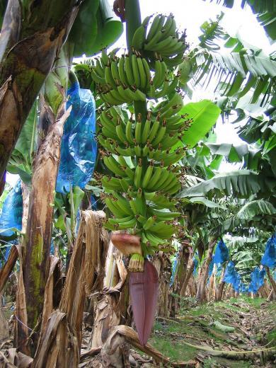 banana plants fruit zoom   banana tree