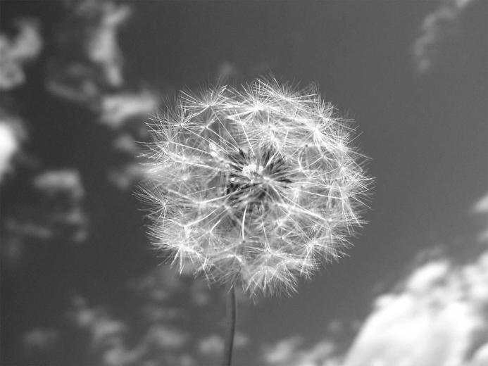 Black and White Wallpapers Dandelion and Sky Black and White