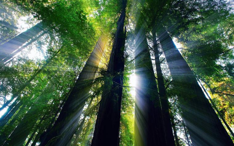 Giant Redwood Forest Wallpapers   Top Giant Redwood Forest