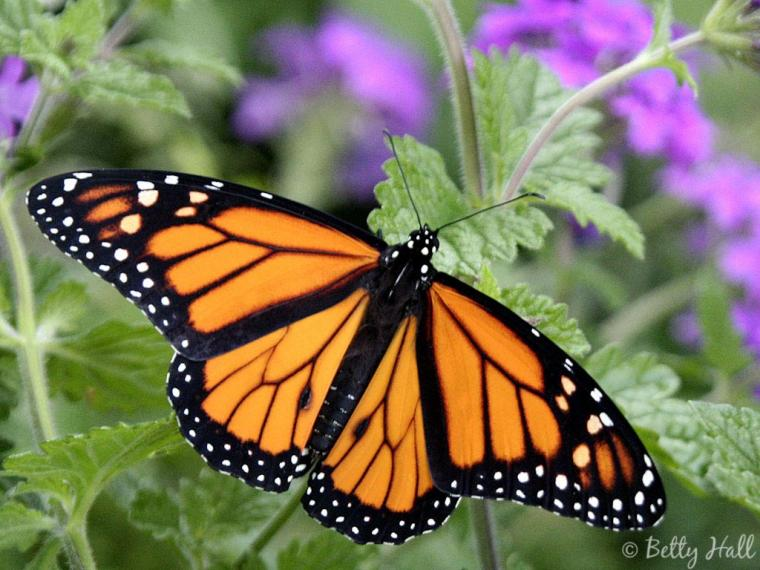 Monarch Butterfly 10 Desktop Background   Hivewallpapercom