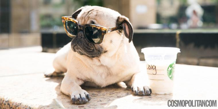 You Must See This Pug Do a Spot On Harry Styles Impression