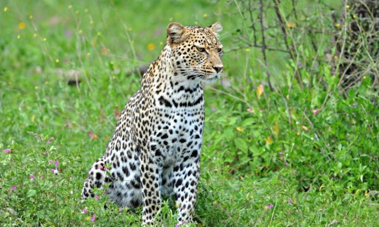 leopard wallpaper hd 800x480