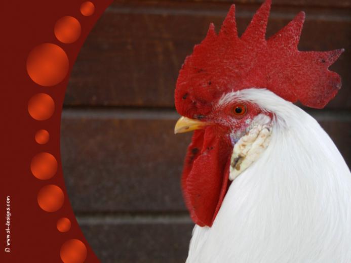 matamu Rooster desktop wallpaper