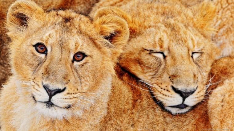 Download 1600x900 Cute Lion Cubs Wallpaper