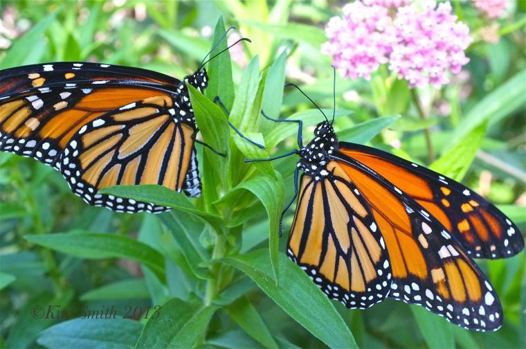 Monarch Butterfly Wallpaper HD Desktop 78l2iic0 Yoanu