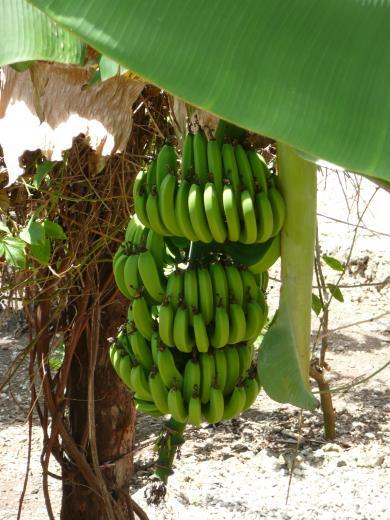FilePunta Cana banana treejpg   Wikimedia Commons