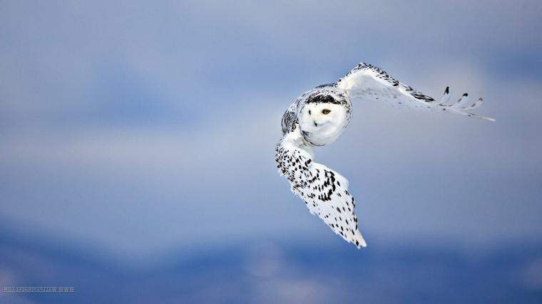 owl fly birds Wallpapers HD Desktop and Mobile Backgrounds