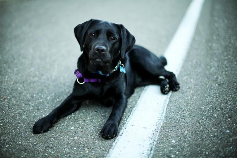 Black Labrador Retriever Wallpaper and Facts Pet Care Tips Advice