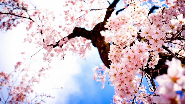 HD Wallpapers Landscape Images Sakura Fresh Airtree