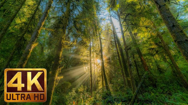 Hatton Trail at Redwood National and State Park 4k Relax Video