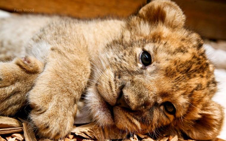 Lion cubs images cute lion cub wallpaper photos 37492155