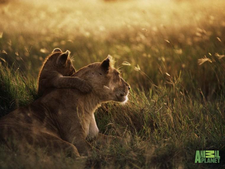 Funny wallpapersHD wallpapers lion cub wallpaper