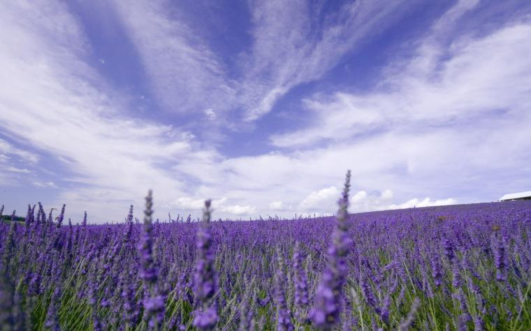 Wallpaper of the Day Lavender Fields Where to find them in