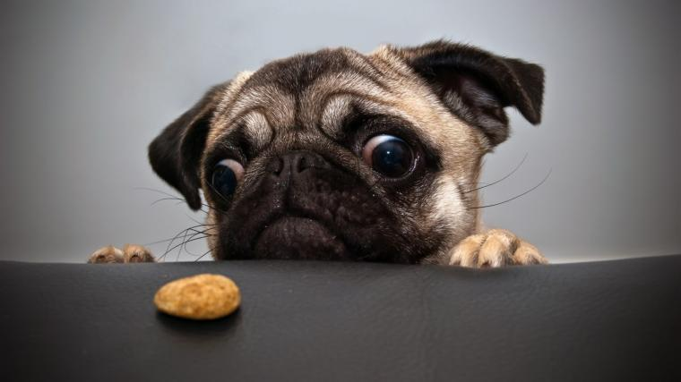 80 Pug HD Wallpapers Background Images