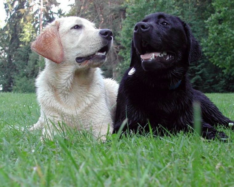 Recent Labrador Retriever Wallpapers