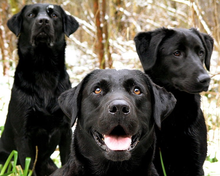 Wallpapers black lab dogs wallpapers