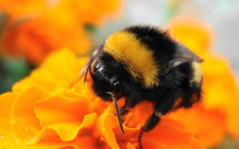 Bumble Bee Google Skins Harvesting Bumble Bee Google Backgrounds