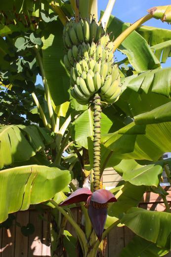 Banana Tree With Fruit And Blossom Stock Photo HD   Public Domain