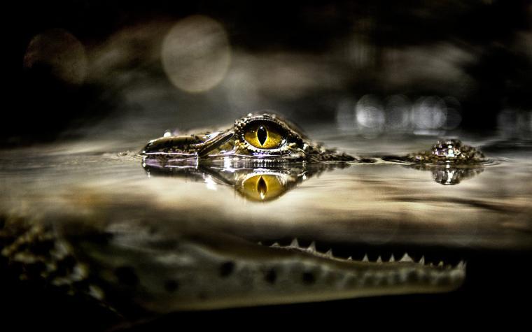 Alligator Google Skins Alligator Google Backgrounds Alligator Google