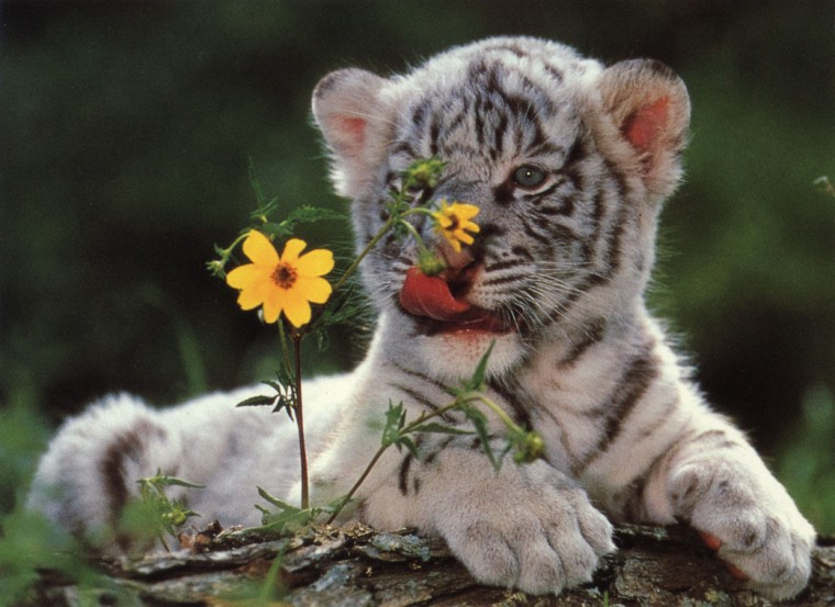 White Tiger Cubs HD Wallpapers