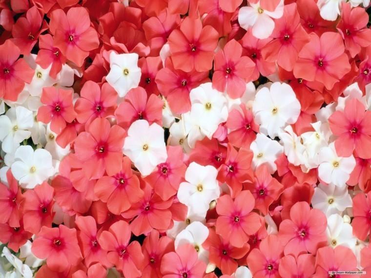 BeautyFul Flowers beautiful flowers background wallpapers