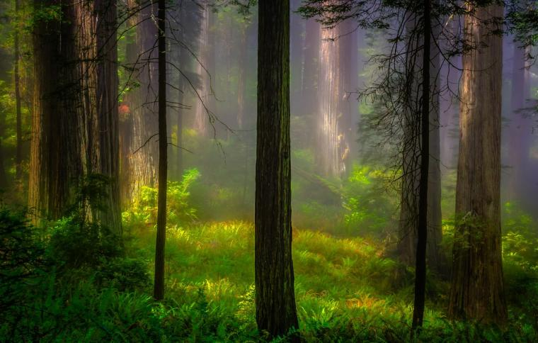 Wallpaper forest light trees nature morning CA USA Redwood