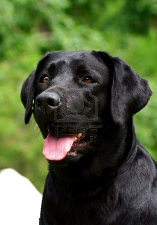 black labrador dog animals wallpapers dogs wallpapers black labrador