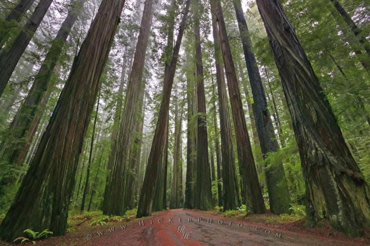 wallpaper background Redwood National Forest