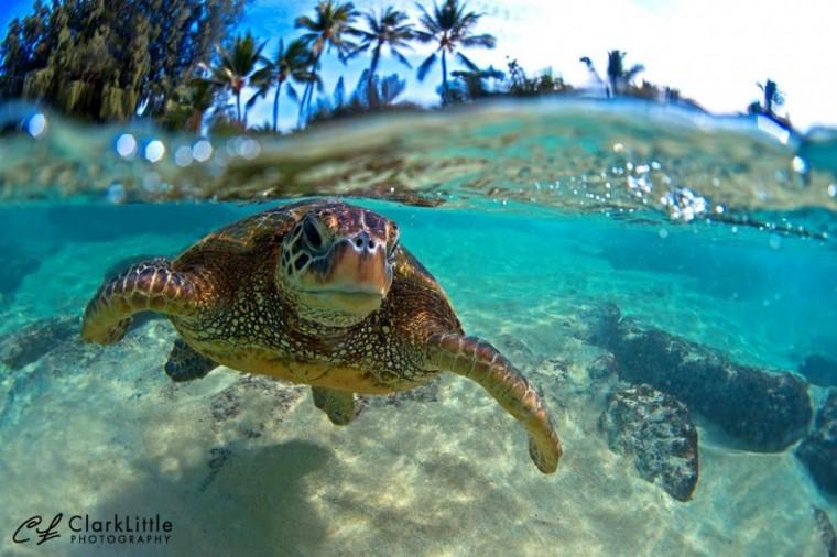 Clark Little Turtle