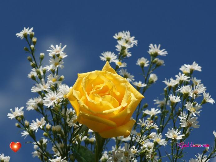 God loves me   rose