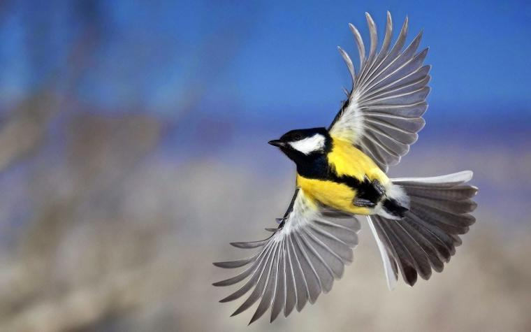 Flying Birds Wallpapers HD Yellow Belly Birds Belly Hd