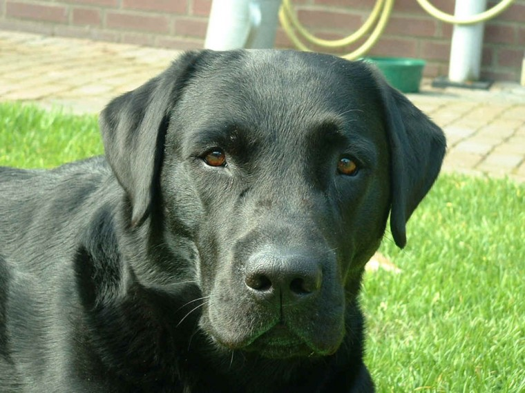 Black Labrador Retriever photo and wallpaper Beautiful Black Labrador