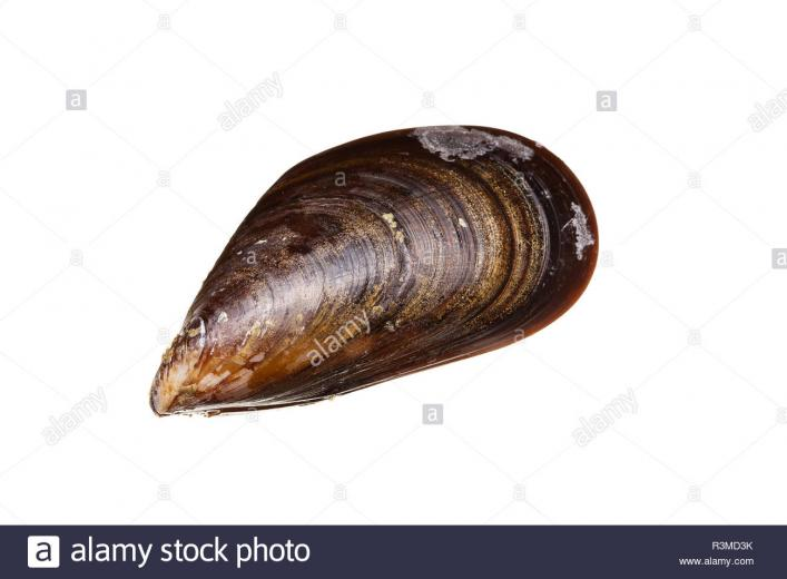 Fresh mussels isolated on white background Mussels from Atlantic