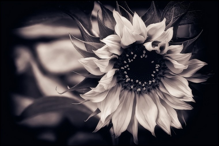 Wallpaper Download Wallpaper Sunflower Black And White Background