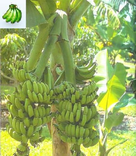 New Products For May   Banana tree plants