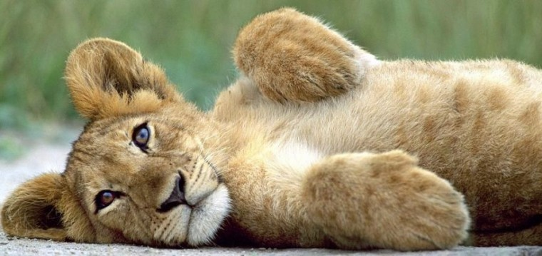 Lion cubs images cute lion cub wallpaper photos 37492130