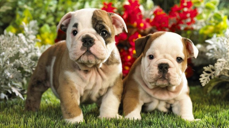 cute puppies wallpaper   8512   The Wondrous Pics