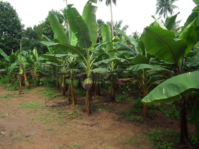 Related Article Banana Tree Pictures