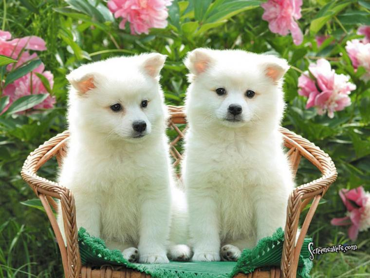 Cute Puppies HD Desktop Wallpapers